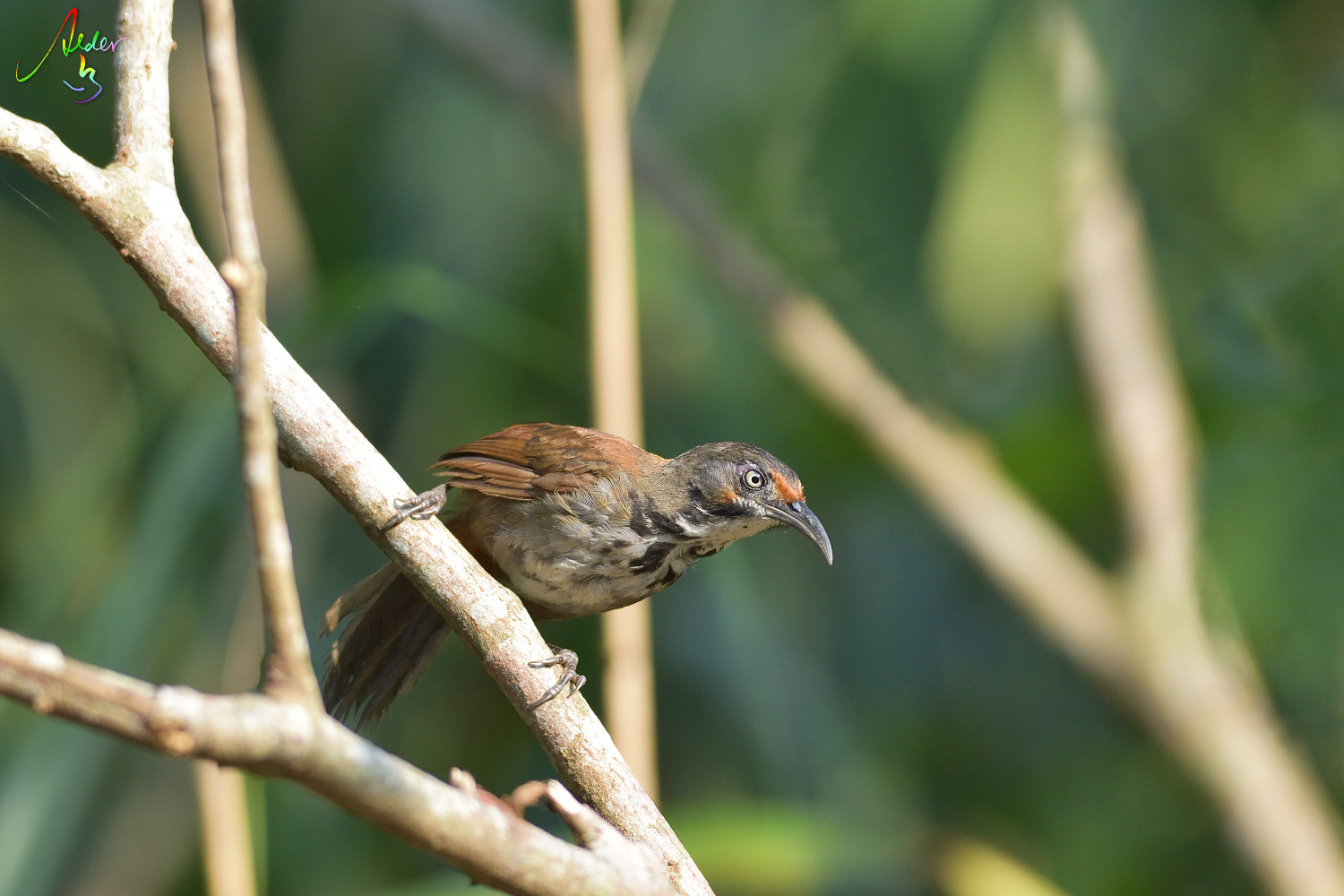 Rusty-cheeked_Scimitar_Babbler_4343