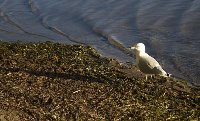 shore gull5