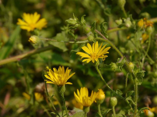 Camphorweed (Heterotheca subaxillaris) - 3