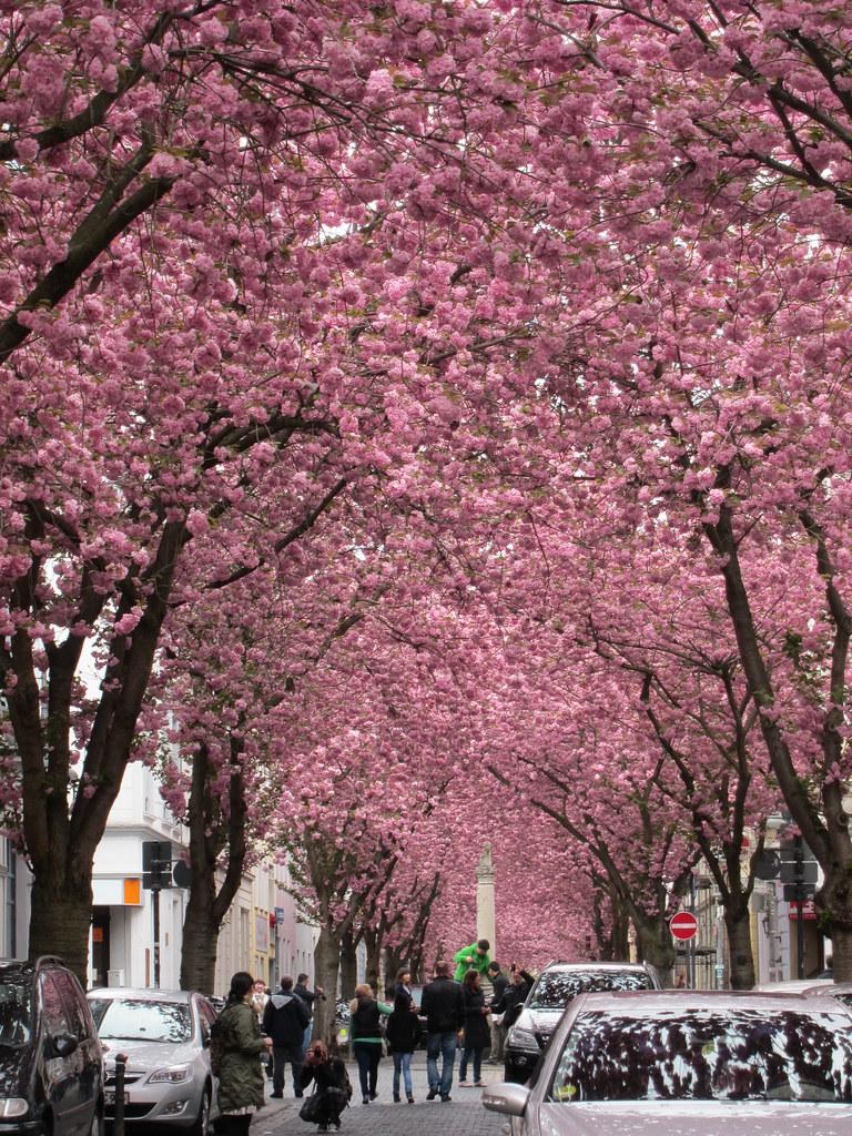 Cherry blossoms in Bonn 159