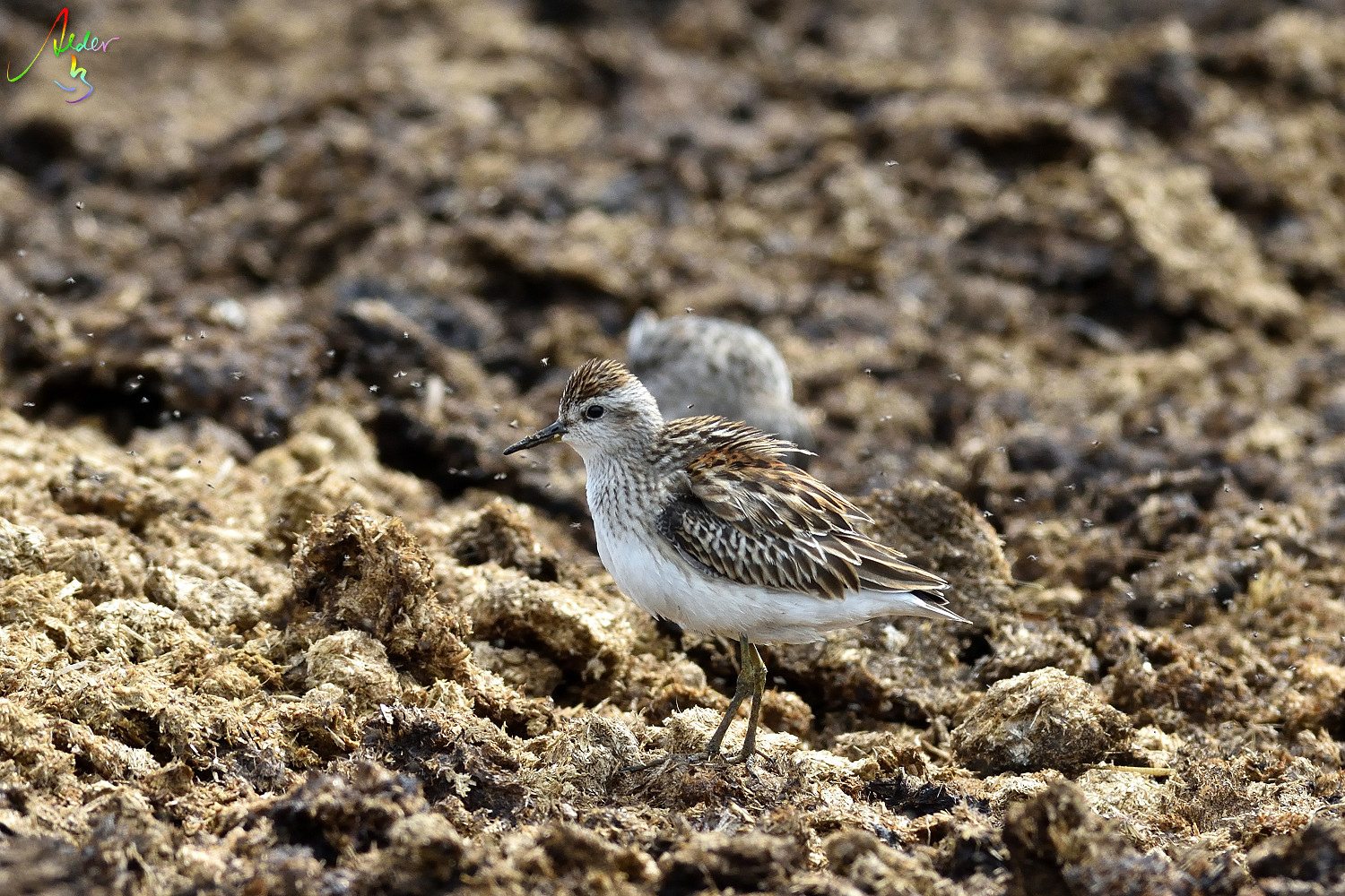 Long-toed_Stint_8273