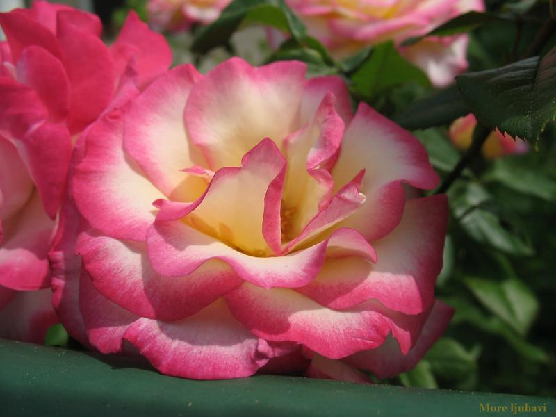 Ru�a, rose