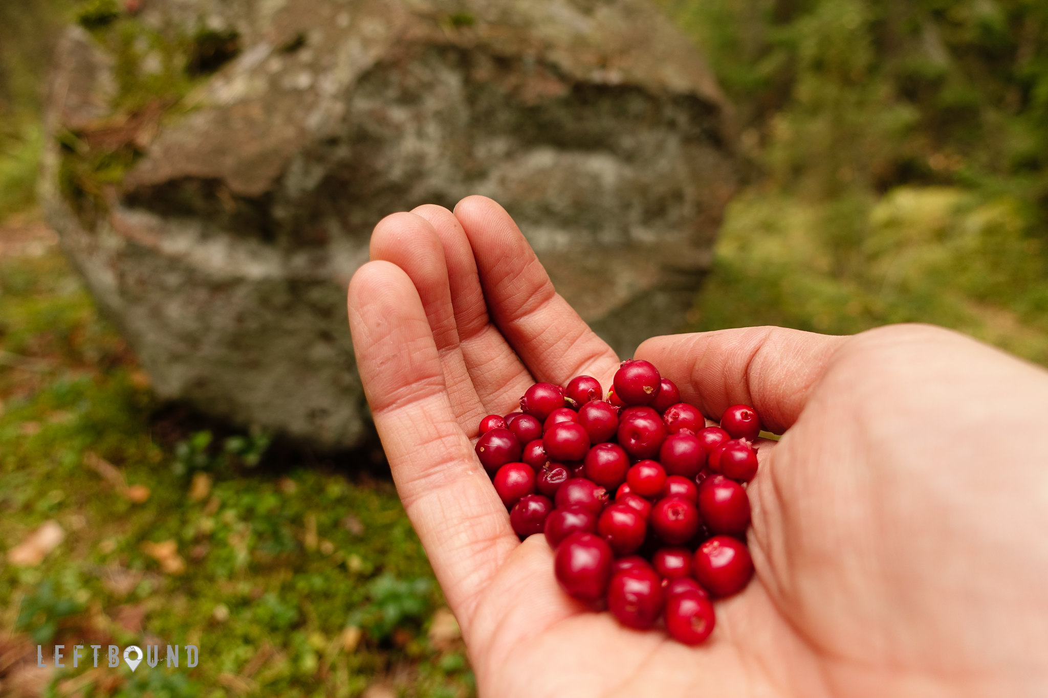 Lingonberries are ripe
