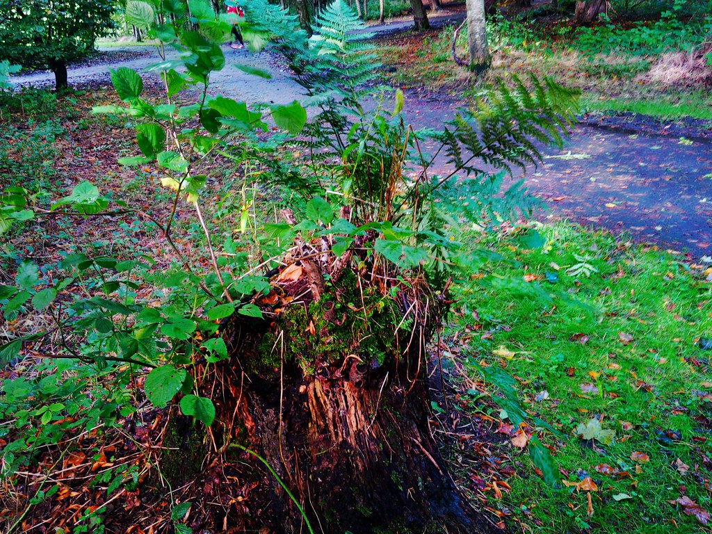 Regeneration from old tree stump at Pollok Park, Glasgow.