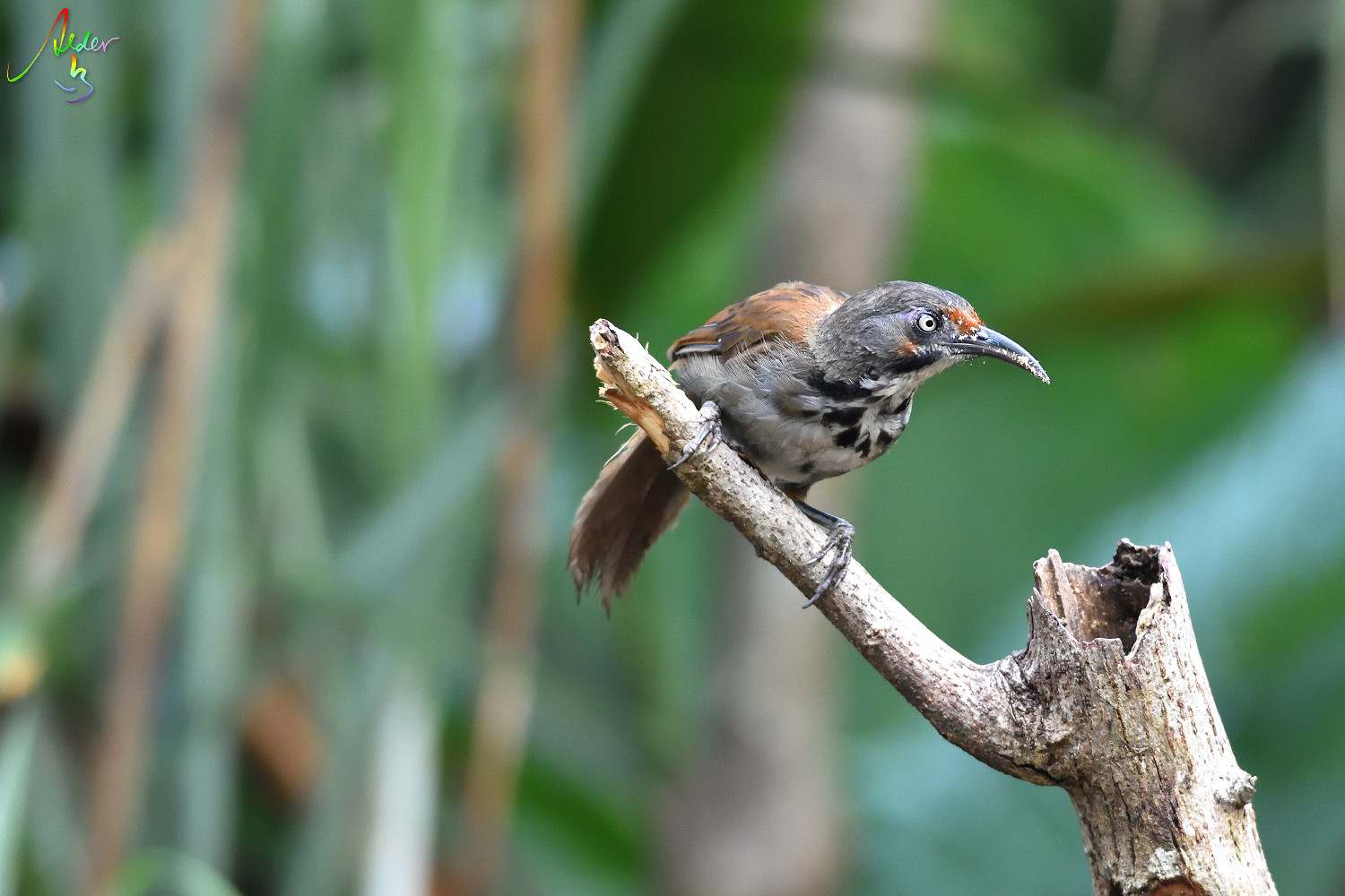 Rusty-cheeked_Scimitar_Babbler_5147