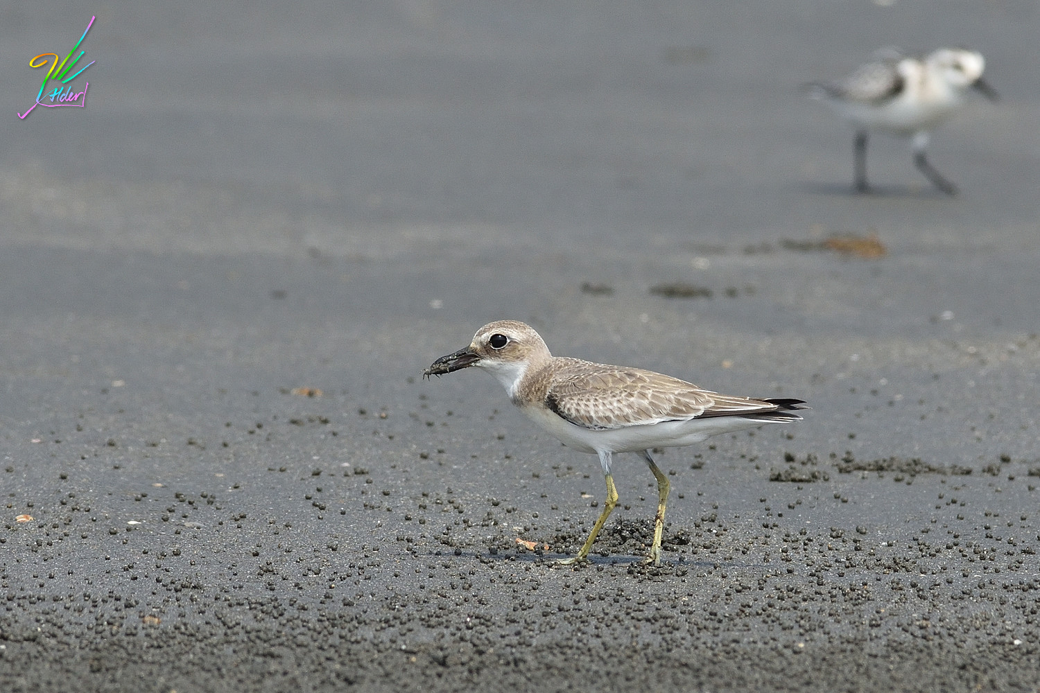Greater_Sand_Plover_2160
