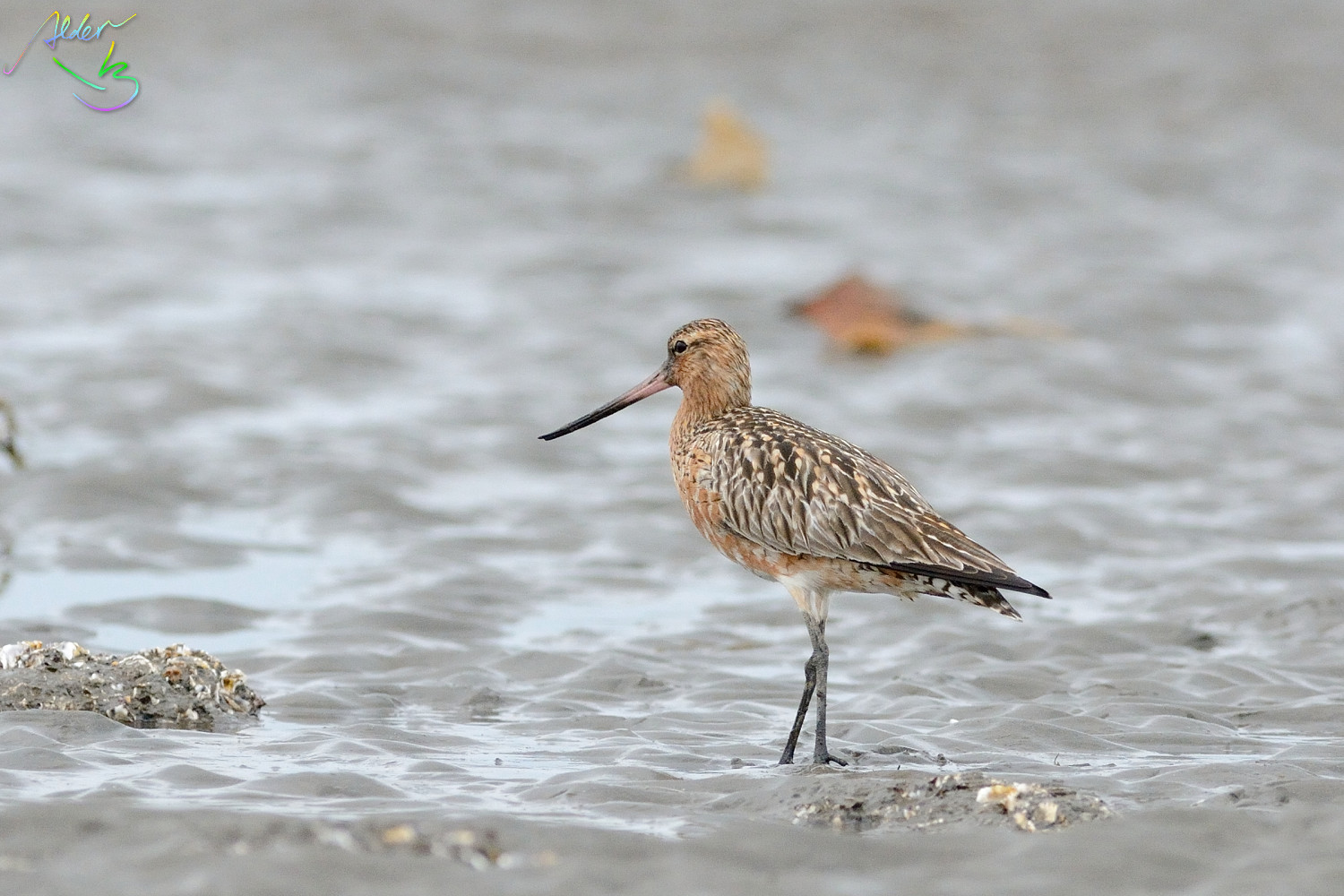 Bar-tailed_Godwit_0580