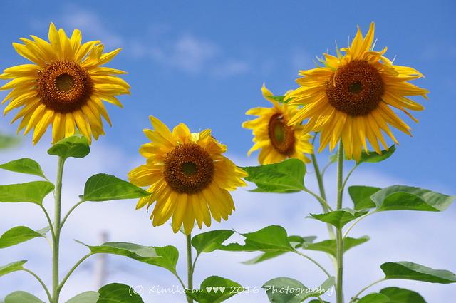 向日葵#うちの庭