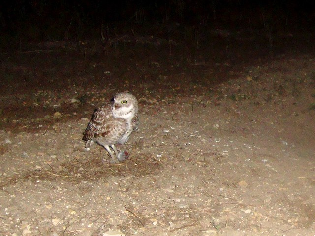 burrowing owls 5