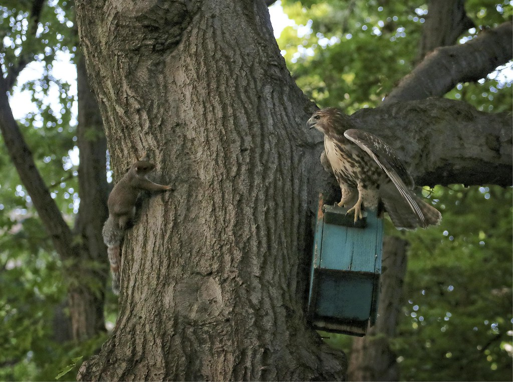 Hawk confronts a squirrel
