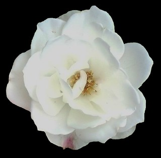 white rose | by blu butterfly