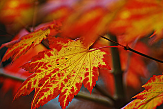 British Fall (Acer palmatum leaves) called Japanese Maple at Pontardawe hills. Wales. | by ajay's visual~panorama©