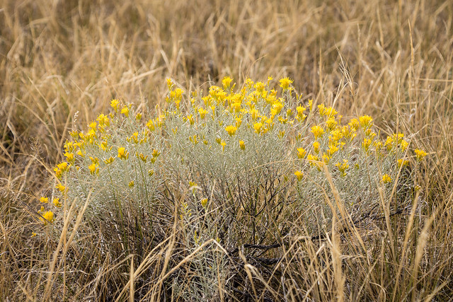 flowering sagebrush