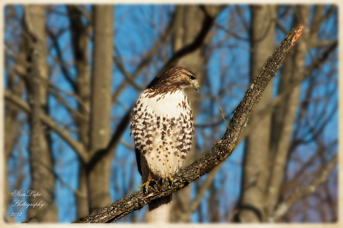 Young Red-tail Spots Prey on Ground | by stanlupo (Thanks for 2,000,000 Views!)