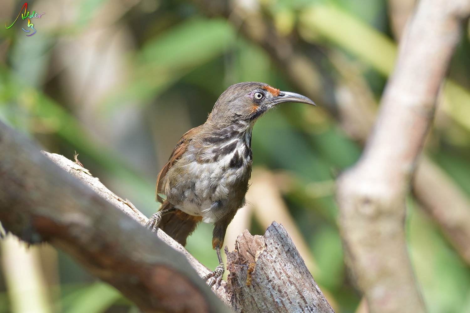 Rusty-cheeked_Scimitar_Babbler_4805