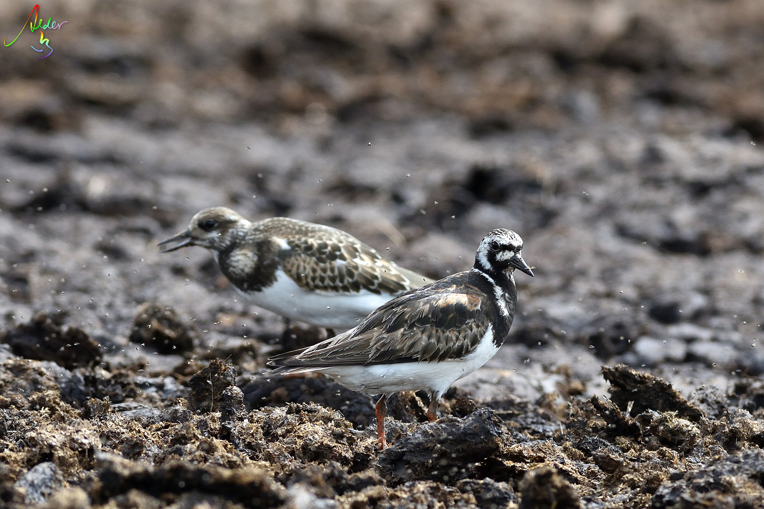 Ruddy_Turnstone_8260