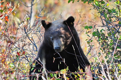 39 Black Bear Feeds | by George - with over 2 mil views - THANKS
