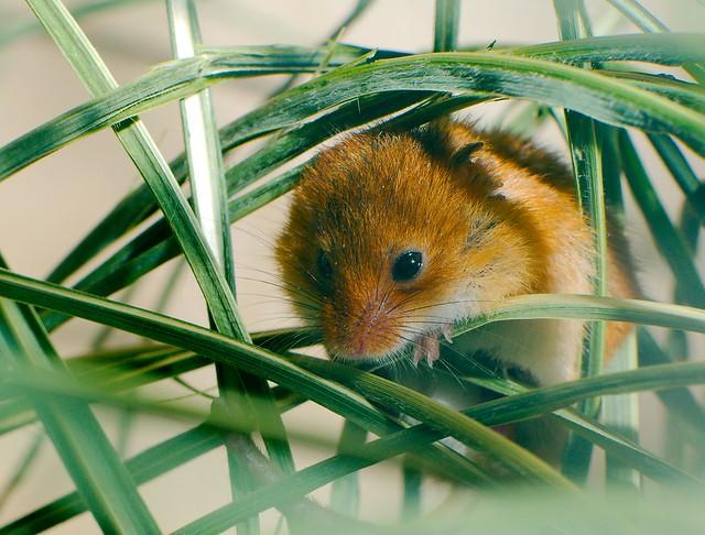 Eurasian Harvest Mouse (Micromys minutus)_3