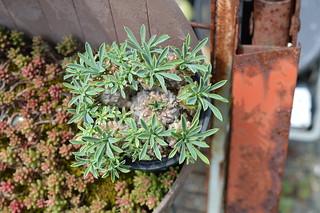 DSC_3666 Euphorbia 'KAIMAGYOKU'  ユーフォルビア 怪魔玉