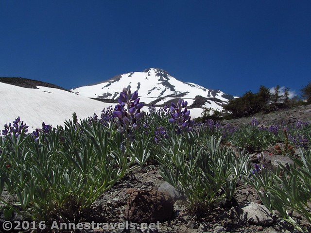 Lupines grow on the lower above-treeline slopes of Mt. Shasta below Butte 9000, Shasta-Trinity National Forest, California