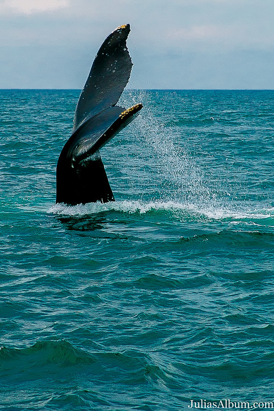 whale tale, humpback whale, travel, vacation, Brier Island in the Bay of Fundy in Digby County, Nova Scotia, Canada