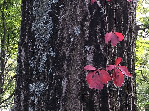 Virginia Creeper on Tree with Lichen