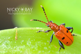 Leaf beetle (Chrysomelidae) - DSC_8125