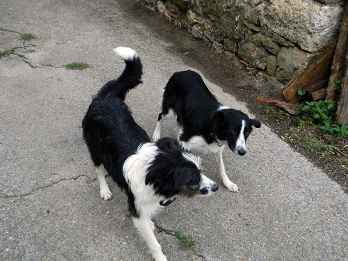 Dogs greet us as we enter into the mountain village of Brez in the Picos de Europa, Spain