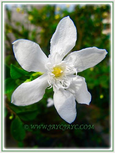 Wrightia antidysenterica or Snowflake never stop flowering, 1 Aug. 2016