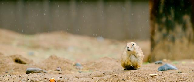 Prairie Dog_6