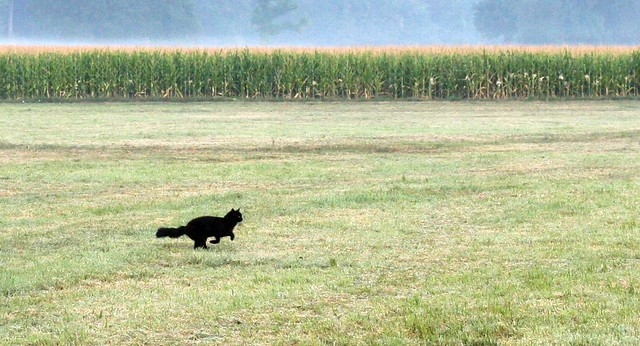 Field cat II