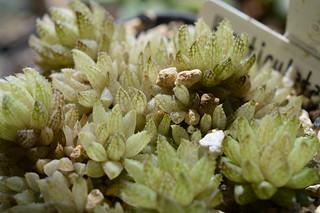 DSC_3597 Haworthia reticulata to herbacea Bosfontein