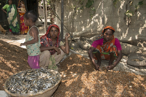 Drying shrimps and fish in Sunamganj, Bangladesh. Photo by Finn Thilsted, 2013.