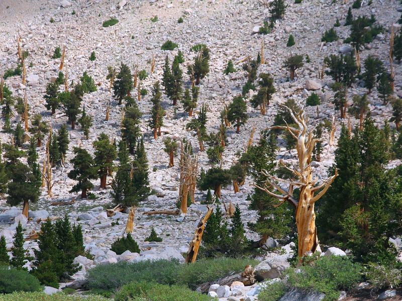 IMG_3375 Foxtail Pine at Chicken Spring Lake