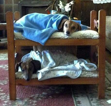 Would Your Dogs Sleep In Bunk Beds Found At Http On Fb