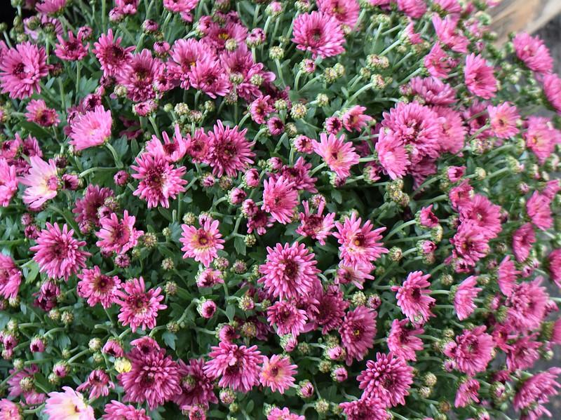 Chrysanthemums 23.09 (3)