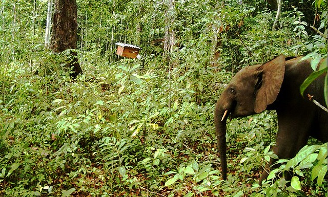 Camera-trap-image-hive-elephant-1