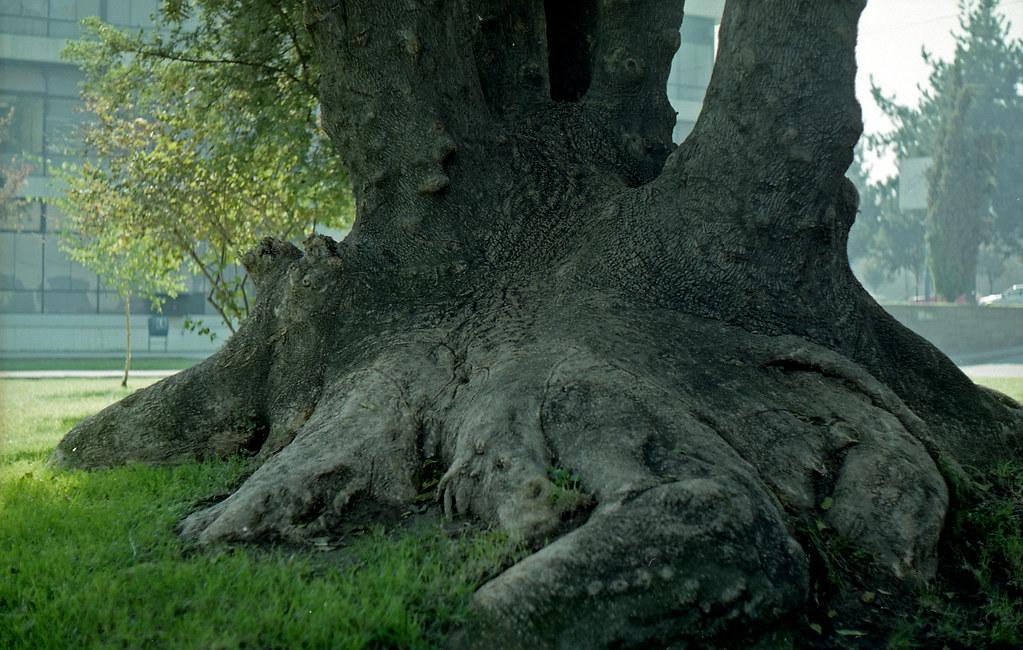 Árbol añoso en USACH [neg-color]