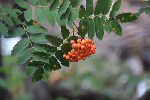 IMG_9200_Mountain_Ash_Berries_on_Trail_to_Alberta_Falls