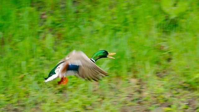 Duck_5