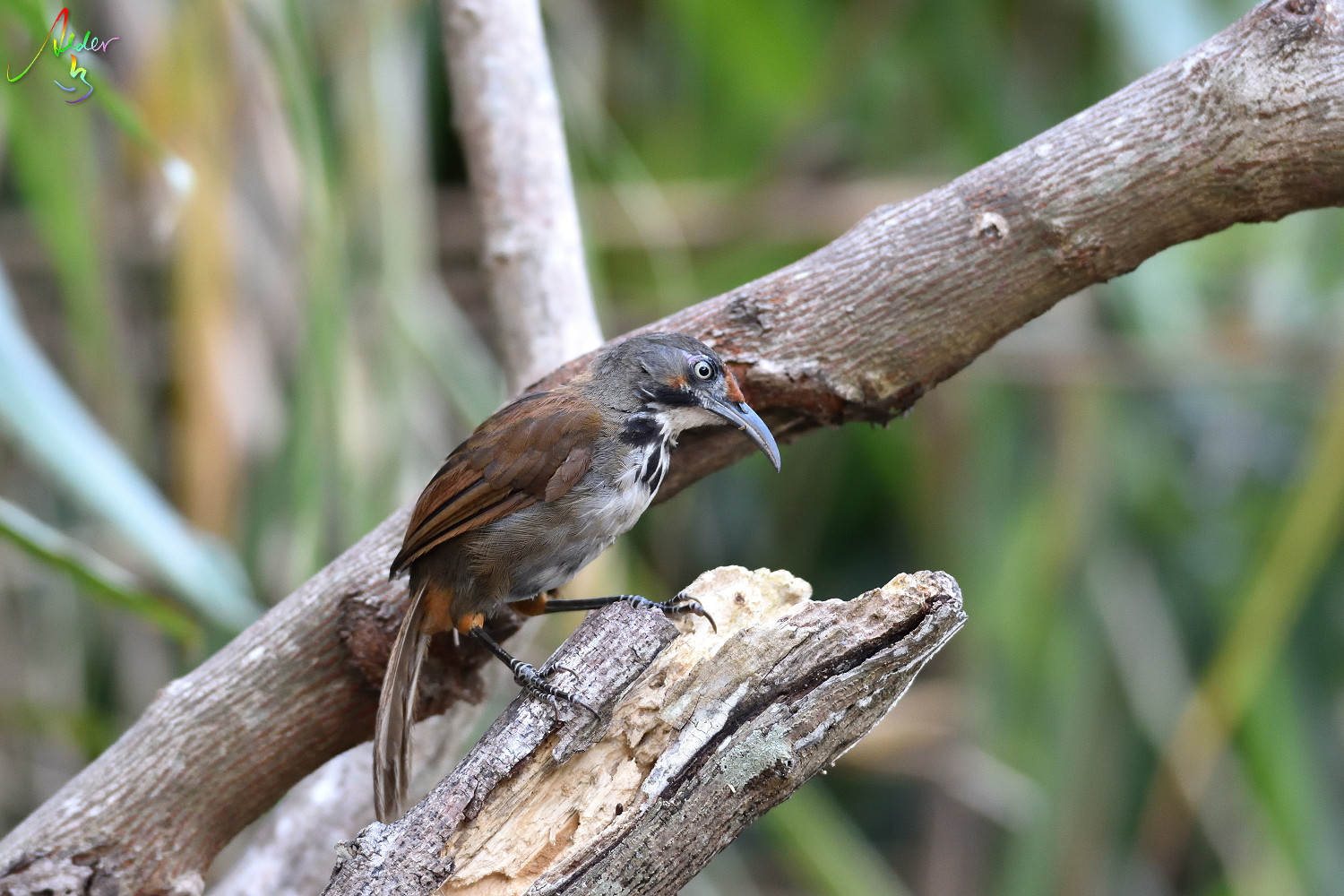Rusty-cheeked_Scimitar_Babbler_4936