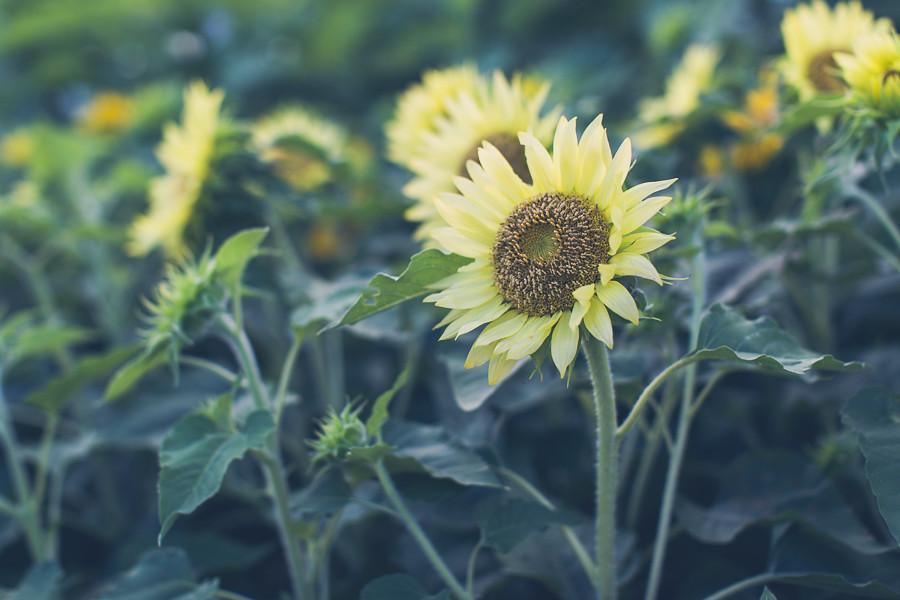 Sunflowers, Odaiba