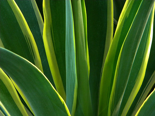 Agave in Udaipur, India
