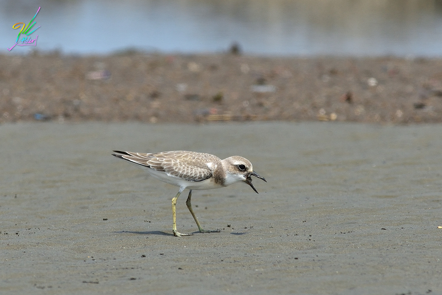 Greater_Sand_Plover_3004