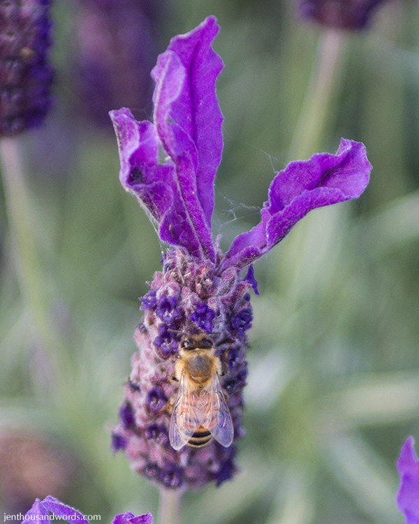 Bees enjoying lavender 08