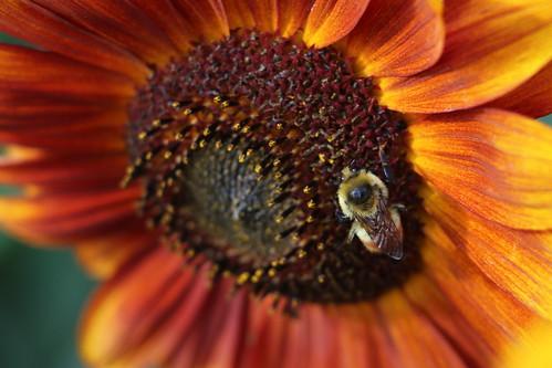 Sunflower's Friend