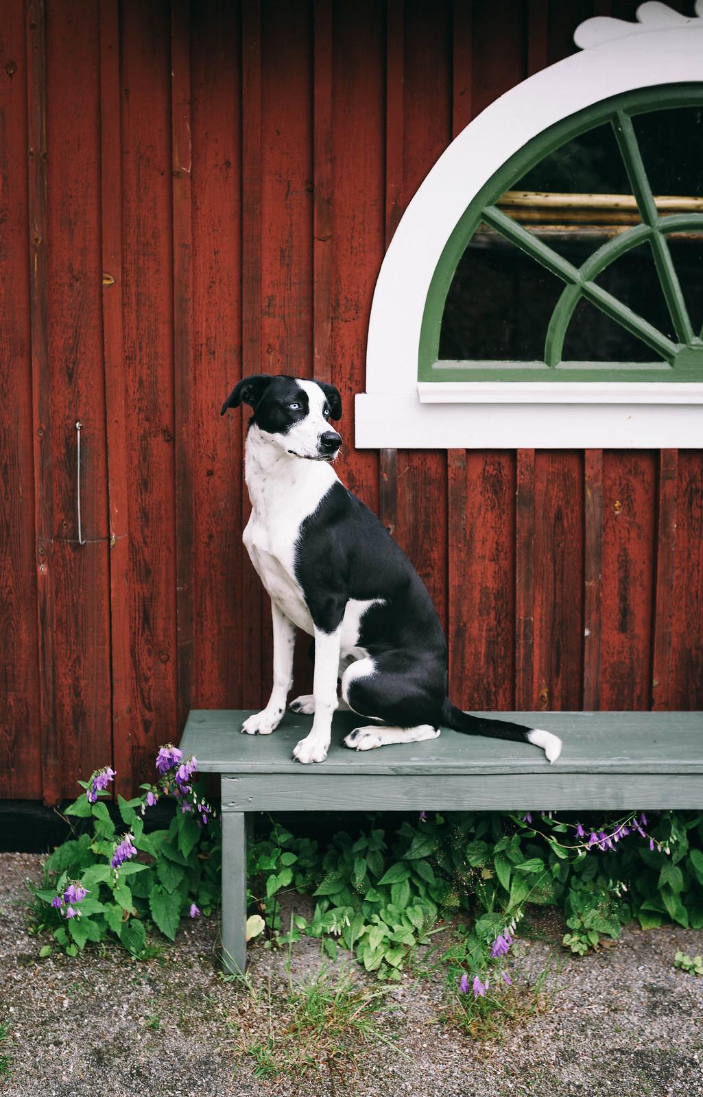 Hunden Elsie (Scandinavian hound) - Evelinas Ekologiska