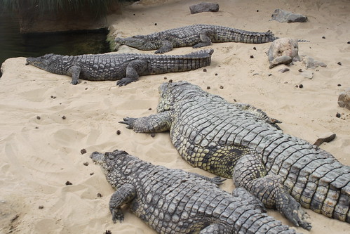four crocodiles lying in sand