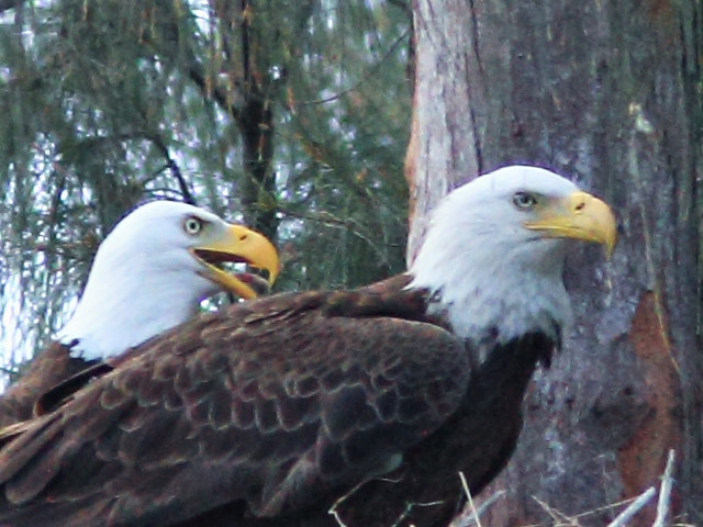 Bald Eagle face comparison 20150312
