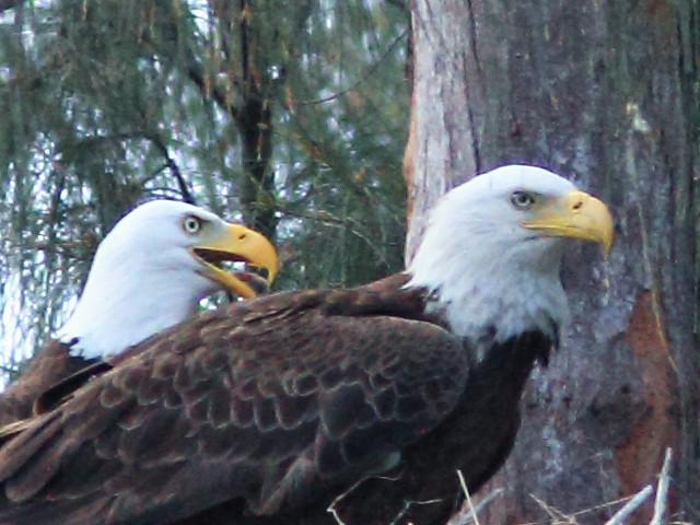 Bald Eagle face comparison 20150312